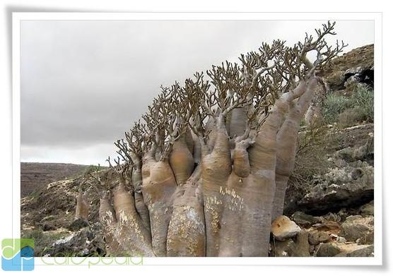 Pohon langka di dunia