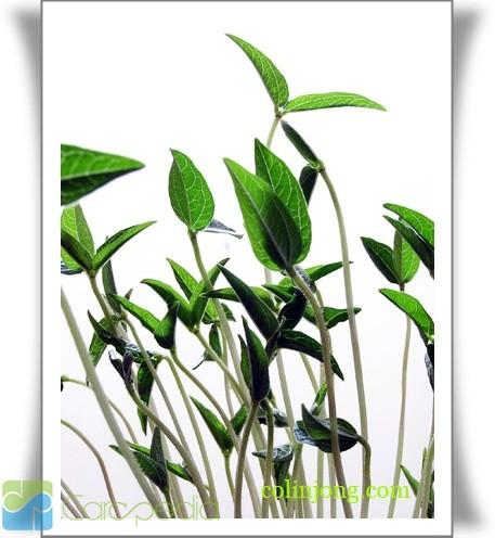 Sekilas Tentang Tumbuhan Kacang Hijau Modelminimalis.info