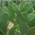 Nopale, Jenis Kaktus yang Disantap Penduduk Meksiko